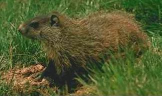 Groundhog or Woodchuck
